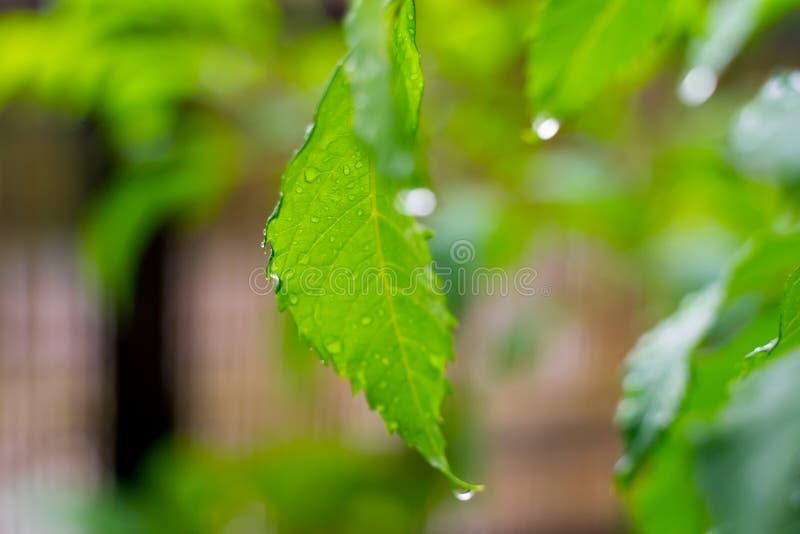Belle gocce dell'acqua piovana trasparente sulla macro verde della foglia Molte gocce di rugiada nella mattina in sole Bella stru fotografia stock