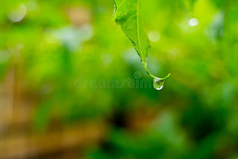 Belle gocce dell'acqua piovana trasparente sulla macro verde della foglia Molte gocce di rugiada nella mattina in sole Bella stru immagini stock