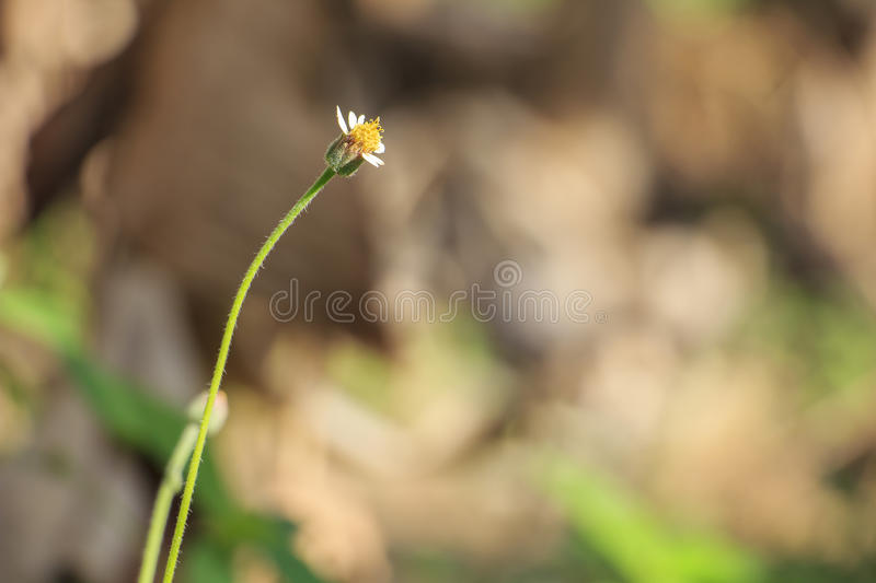 Belle herbe simple de fleur : Procumbens de Tridax ou coatbuttons ou marguerite de tridax photo libre de droits