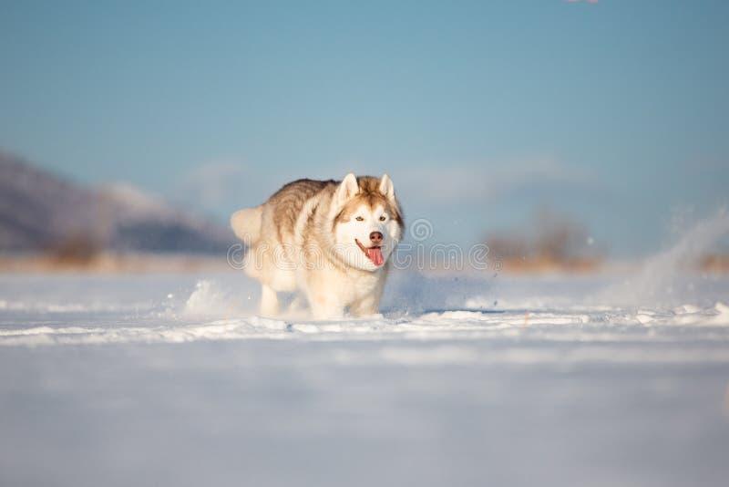 Belle, heureuse et mignonne cosse sibérienne de race beige et blanche de chien fonctionnant sur la neige dans le domaine d'hiver images libres de droits