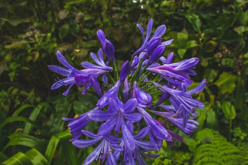 Belle horticulture pourpre de lis africain sur l'île du sao Miguel, Açores, Portugal image stock