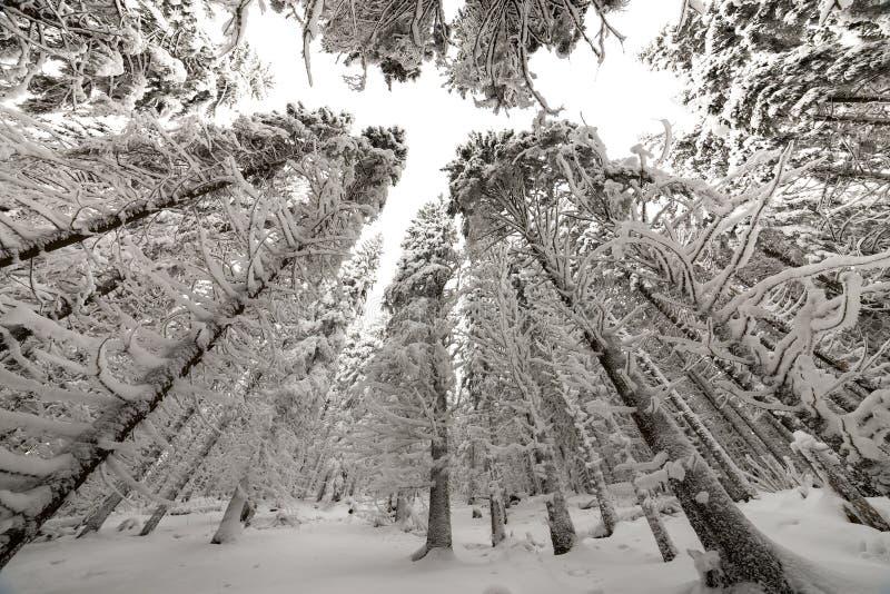 Belle illustration de l'hiver Arbres impeccables grands couverts de neige profonde et de gel sur le fond clair de ciel bonne ann? photographie stock
