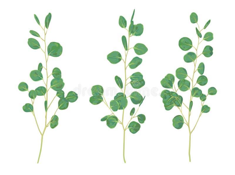 Belle illustration des branches et des feuilles du silv d'eucalyptus illustration de vecteur