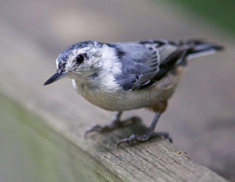 Belle image d'isolement avec un oiseau blanc-breasted de sittelle image libre de droits