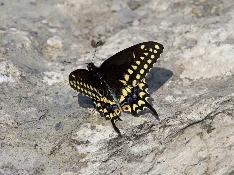Belle image d'isolement avec un papillon sur la roche photo libre de droits