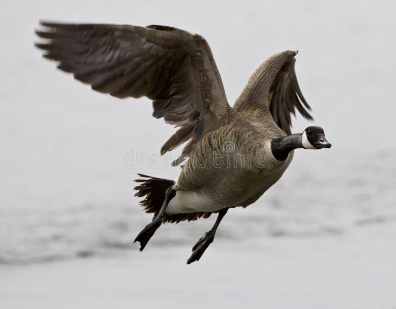 Belle image d'isolement avec une oie de Canada de vol image libre de droits