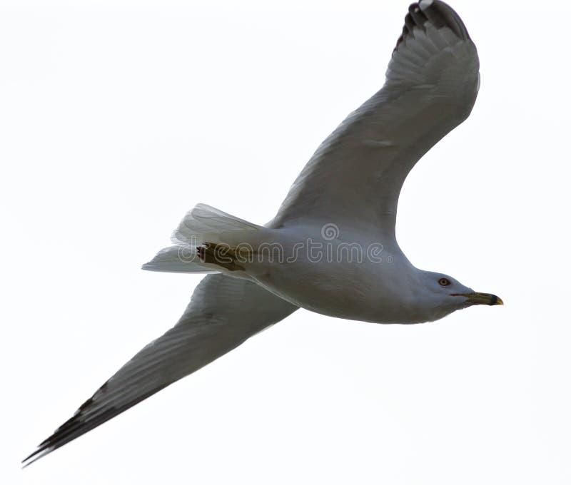Belle image d'isolement d'une mouette calme en vol image stock