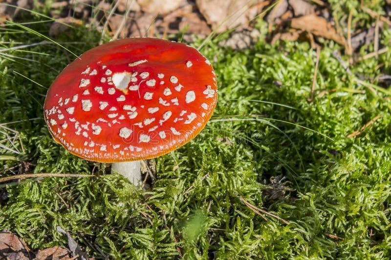 Belle image d'un muscaria rouge d'amanite de champignon sur la mousse verte photographie stock libre de droits