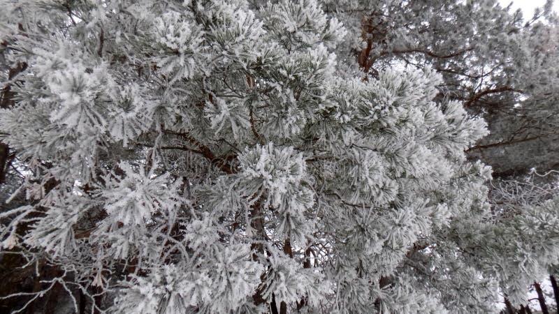 Belle image de l'hiver landscape Fond abstrait de forêt de pin Papier peint de branches de pins images libres de droits