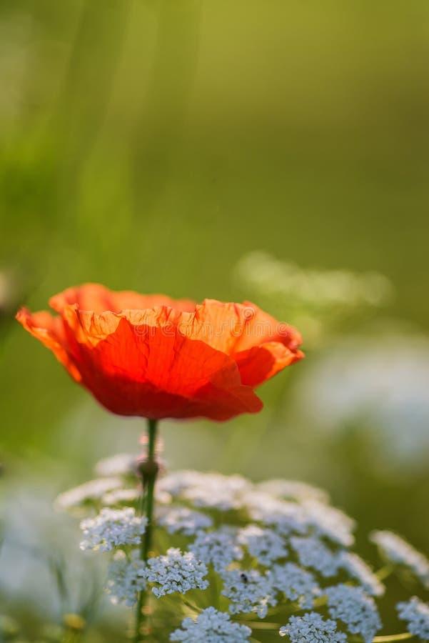Belle image de pavot pour le jour de Rememberence images libres de droits