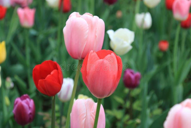 Belle image de ressort créée par les tulipes de floraison de différentes couleurs image stock