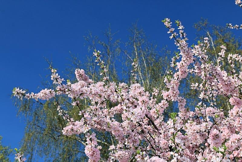 Belle image de ressort de Sakura de floraison, d'arbre vert et de ciel bleu photo libre de droits