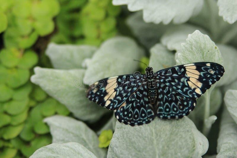 Belle image des ailes larges d'un papillon rouge de biscuit sur les feuilles vertes photos libres de droits