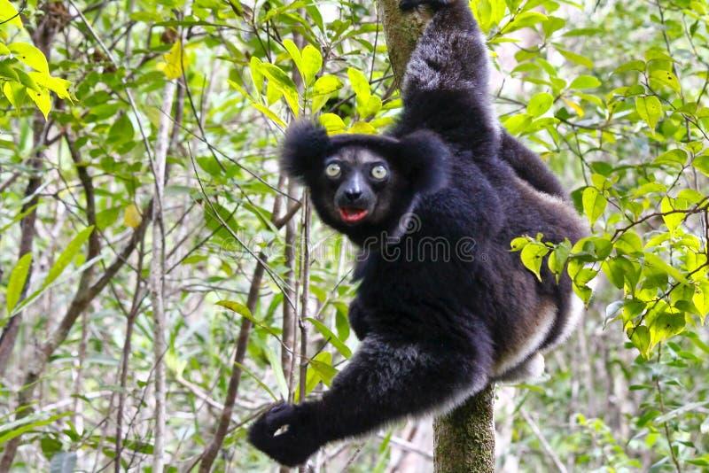 Belle image du lémur Indri Indri d'Indri image libre de droits