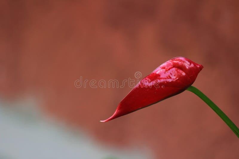 Belle immagini delle azione del fiore dell'anturio fotografia stock