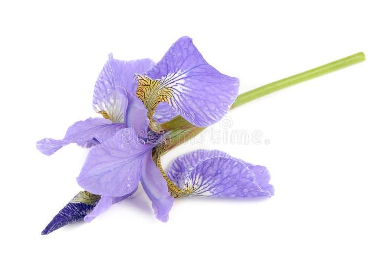 Belle Iris Flower Isolated pourpre sur le fond blanc image stock