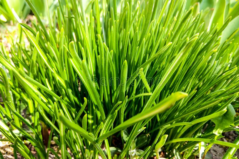 Belle jeune herbe verte un jour ensoleillé, fond de nature images stock