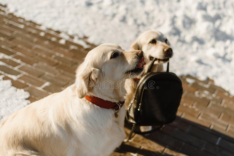 Belle Labrador formation de deux photos libres de droits