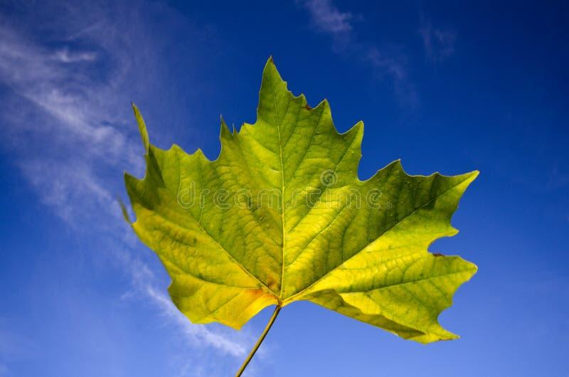 Belle lame d'érable vive d'automne contre le ciel bleu photographie stock libre de droits