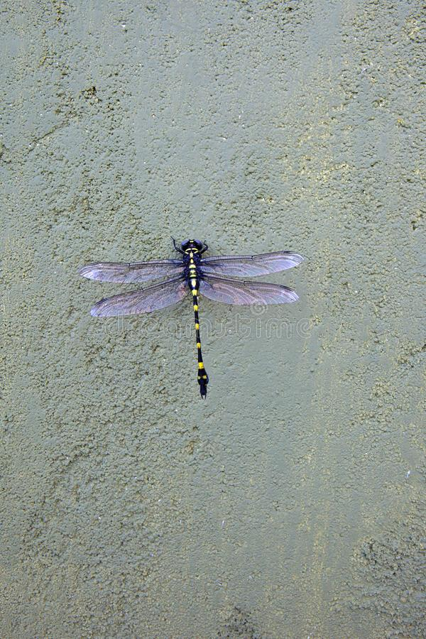Belle libellule sri-lankaise, flangetail rapace images stock