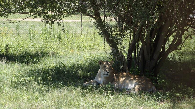 Belle lionne sous un arbre photographie stock libre de droits