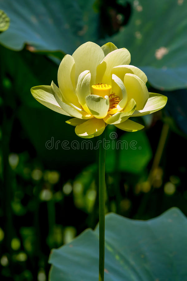 Belle Lotus Water Lily Pad Flower jaune de floraison photographie stock libre de droits