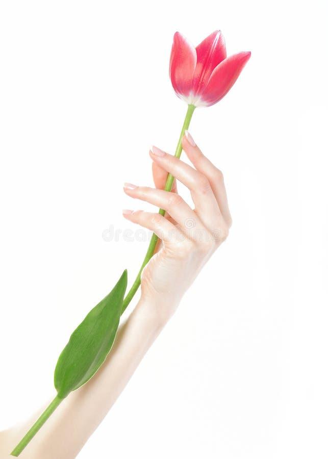 Belle main avec la manucure française et la tulipe photo stock
