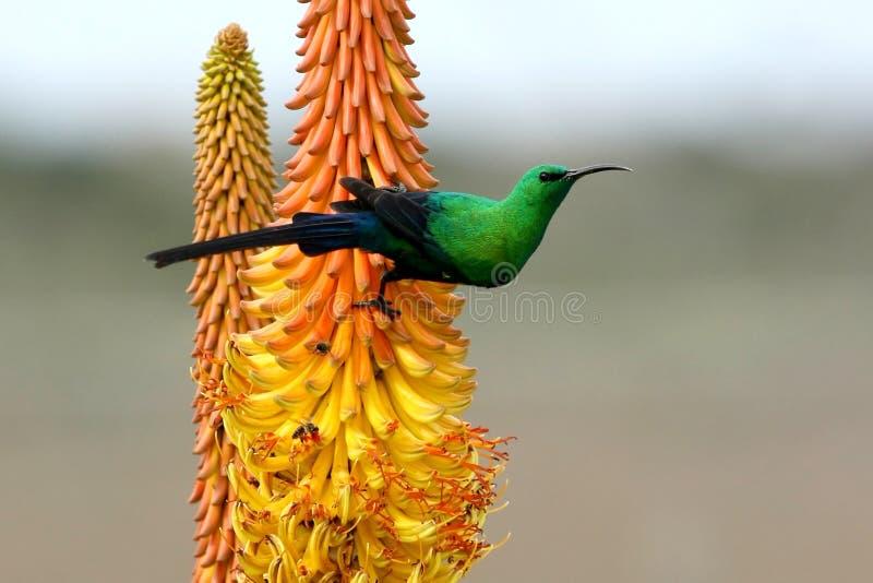Belle malachite Sunbird image stock