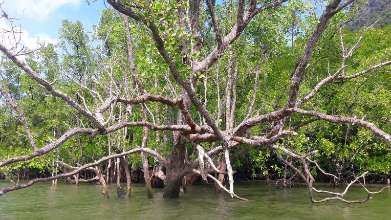Belle mangrovie nel mare, provincia di Phang Nga immagine stock