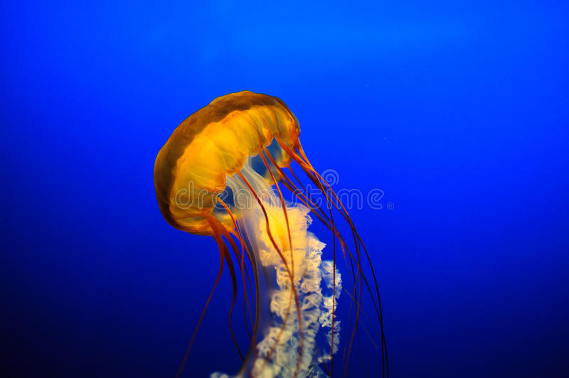 Belle meduse   immagine stock