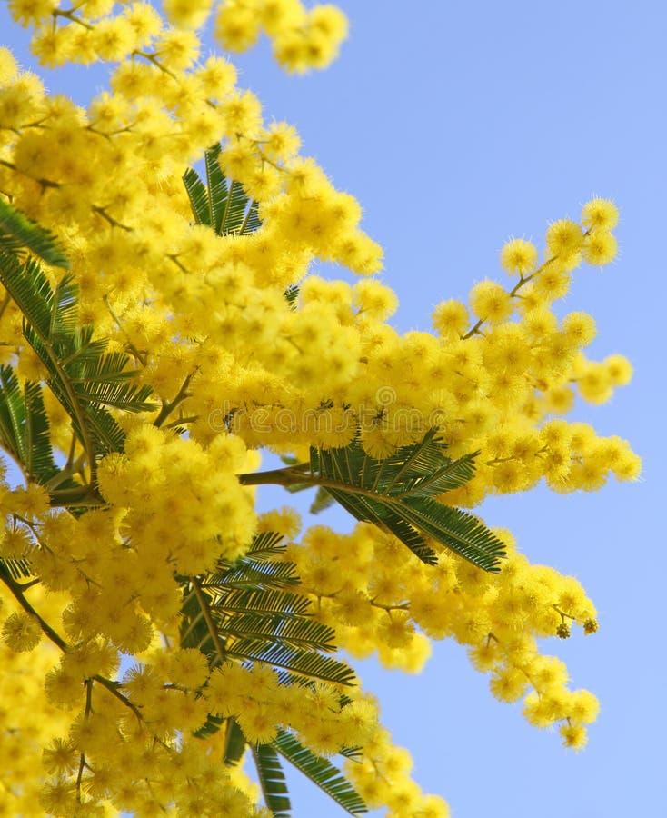 belle mimosa jaune image stock image du bille milieux 38691409. Black Bedroom Furniture Sets. Home Design Ideas