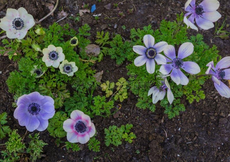 Belle an?mone bleue tendre de fleurs en premier ressort dans un lit de fleur dans le jardin photographie stock