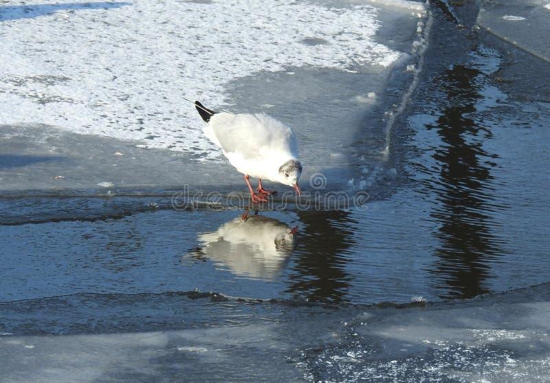 Belle mouette en rivière en hiver, Lithuanie image stock