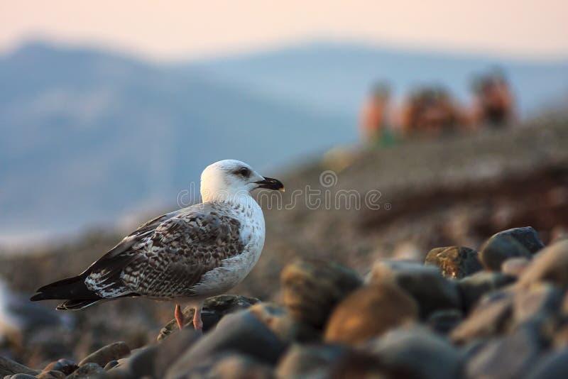 Belle mouette grise se tenant sur une plage de mer de caillou sur le fond d'un groupe de personnes refroidissant sur le bord de m photographie stock