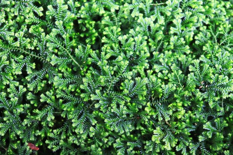 Belle mousse verte sur la pierre, plan rapproché de mousse, macro Beau fond de mousse pour le papier peint - Image image libre de droits