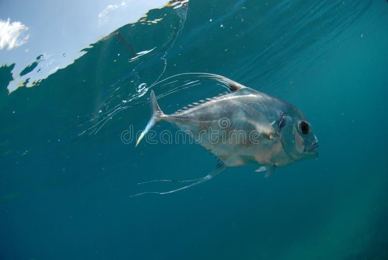 Belle natation africaine de poissons de Pompano dans l'océan image stock