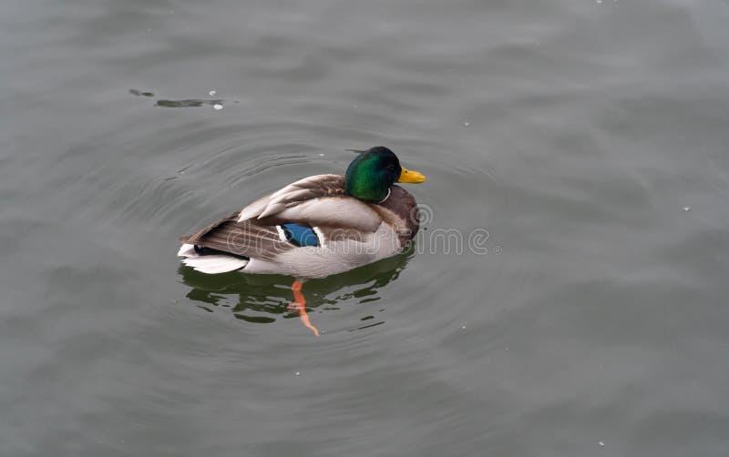 Belle natation de canard en rivière froide en hiver photographie stock