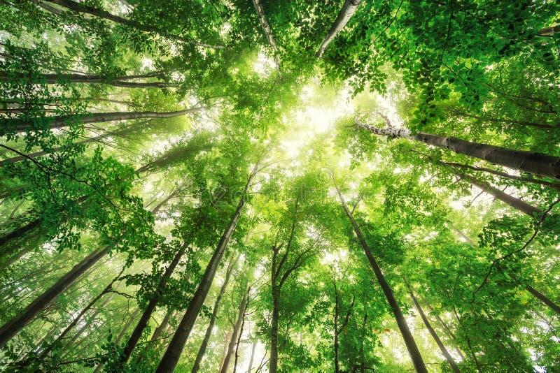Belle nature au matin dans la forêt brumeuse de ressort avec le soleil photo libre de droits