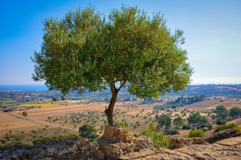 Belle Olive Tree sur les collines d'Agrigente images stock