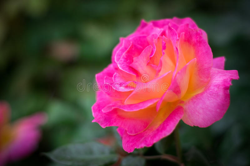 Belle orange de Rose de gradient photo libre de droits