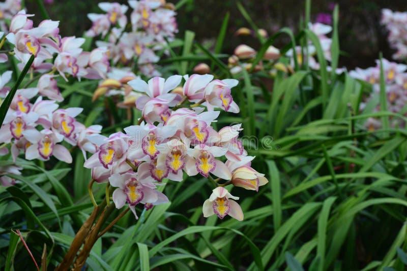 belle orchid e blanche de fleur de cymbidium dans le jardin image stock image du lames. Black Bedroom Furniture Sets. Home Design Ideas