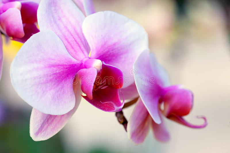 orchidee blanche rose