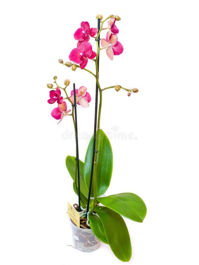 Belle orchidée rose, d'isolement photos stock