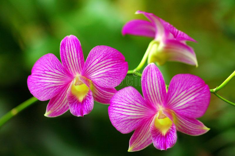 Belle orchidee dentellare fotografia stock