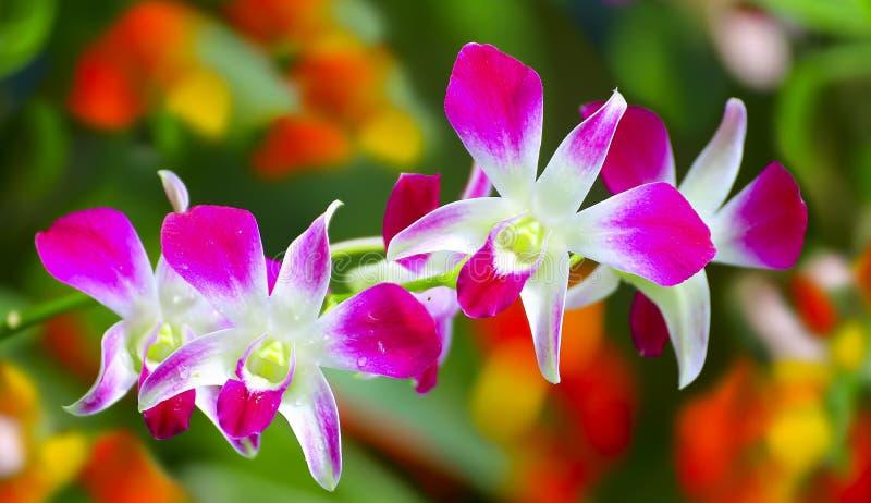 Belle orchidee dentellare immagine stock libera da diritti
