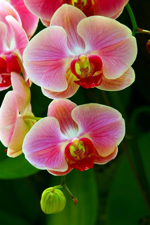 Belle orchidee rosa traslucide fotografie stock libere da diritti