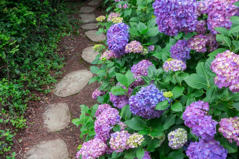 Belle ortensie blu che sbocciano accanto al percorso del giardino - Selec fotografie stock
