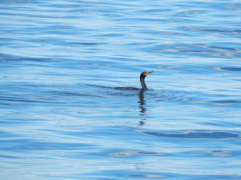 Belle pêche d'oiseau en mer photo stock