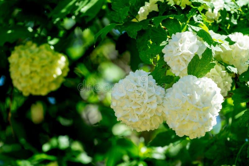 Belle palle bianche del opulus di fioritura Roseum di viburno su fondo verde scuro Opulus bianco di Guelder Rosa o di viburno immagine stock