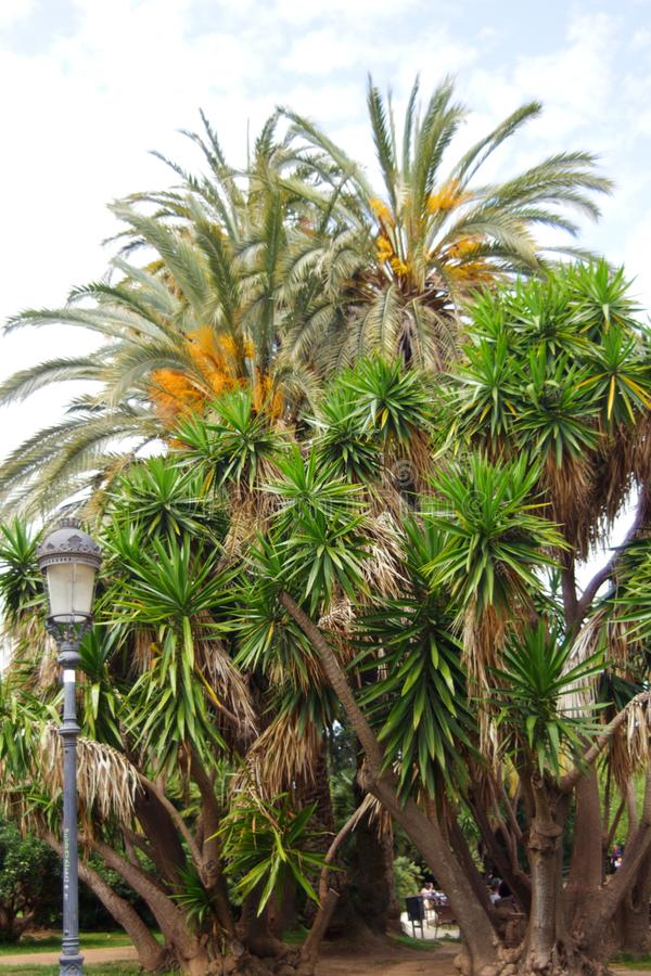 Belle palme crescenti in Parc de la Ciutadella a Barcellona, Spagna fotografia stock libera da diritti